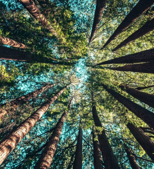 Arvores de reflorestamento